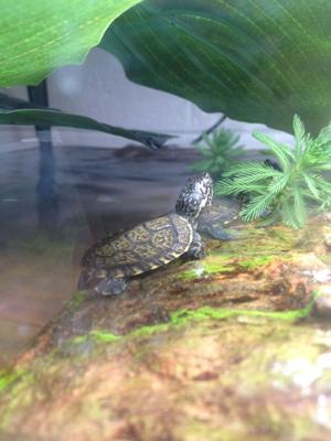 Micke Grove Zoo staff welcome baby Western pond turtles