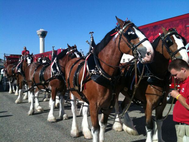 Budweiser Clydesdales to visit Downtown Lodi Farmers Market