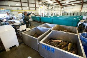 A fishy experiment out in the Delta