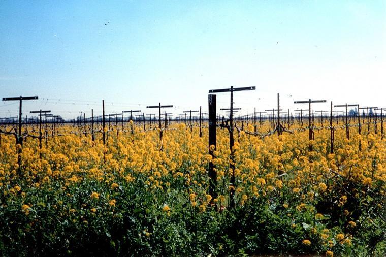 Mustard plants in bloom