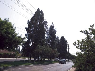 City likely to remove dozens of trees on Lower Sacramento that pose safety hazard