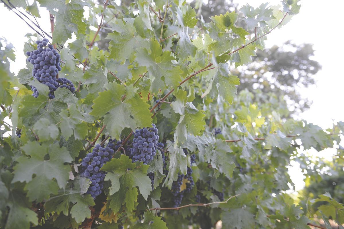 Lodi region crushes annual grape report