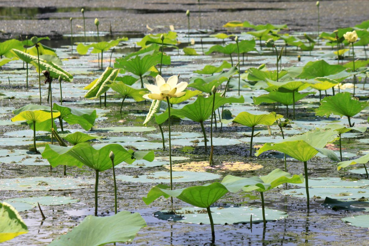 Invasion Of The American Lotus News Logandaily