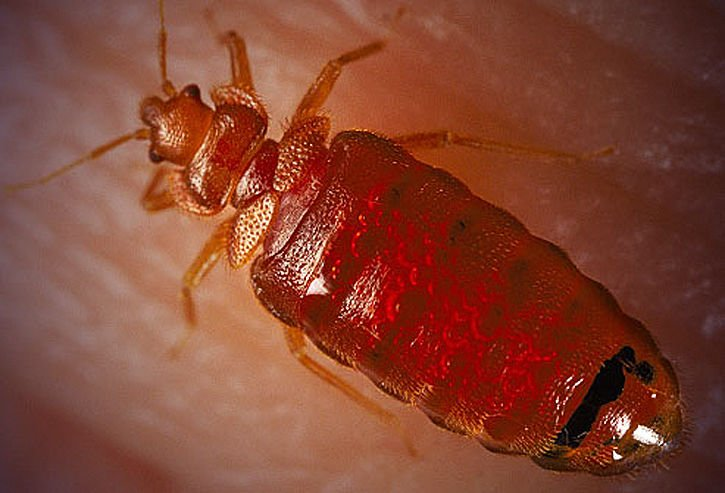 The bitter battle with bed bugs news for Are bed bugs red