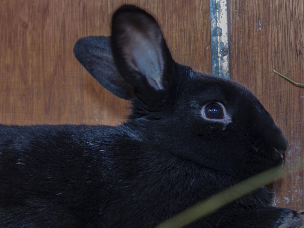 CAPA Pet of the Week -- Licorice