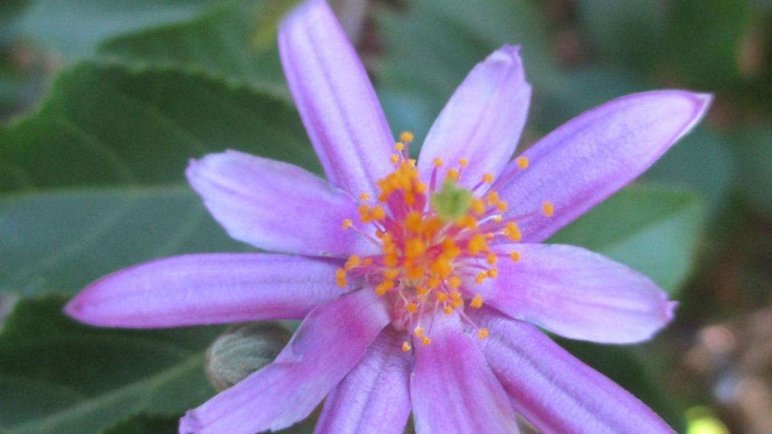 Highlight: Lavender starflower