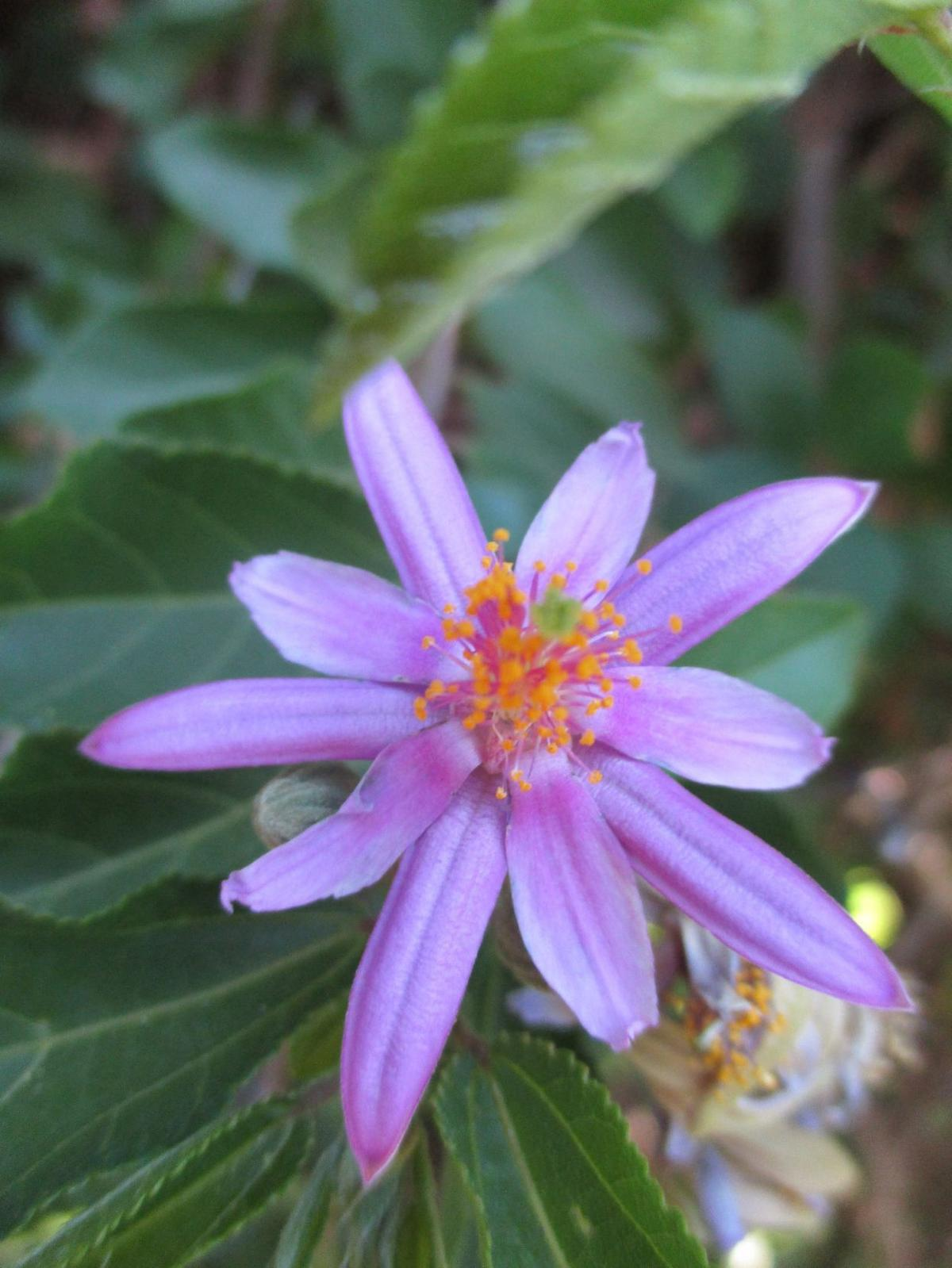 Highlight: Lavender starflower