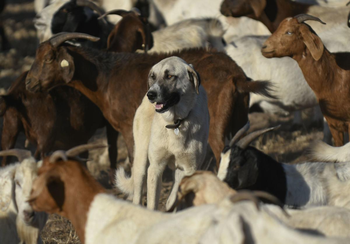 091819 Lompoc goats 02.jpg