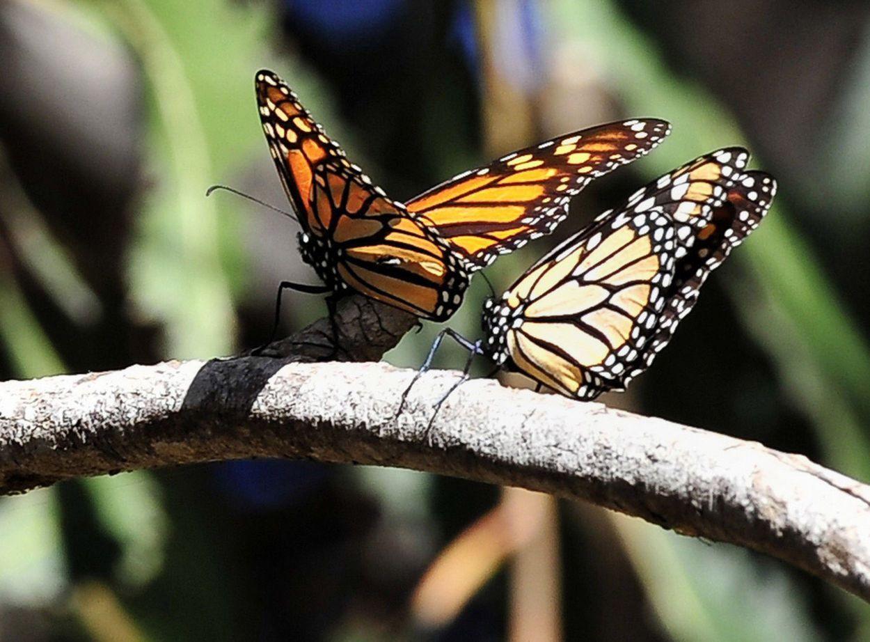 Monarchs close-up 2016
