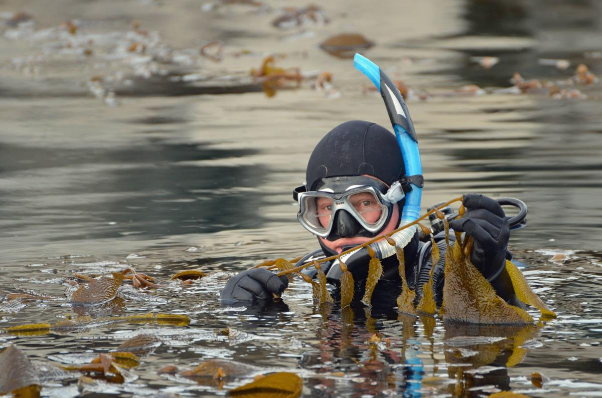 Marine biologist Jim Kelly holds California giant kelp in Diablo Canyon marina