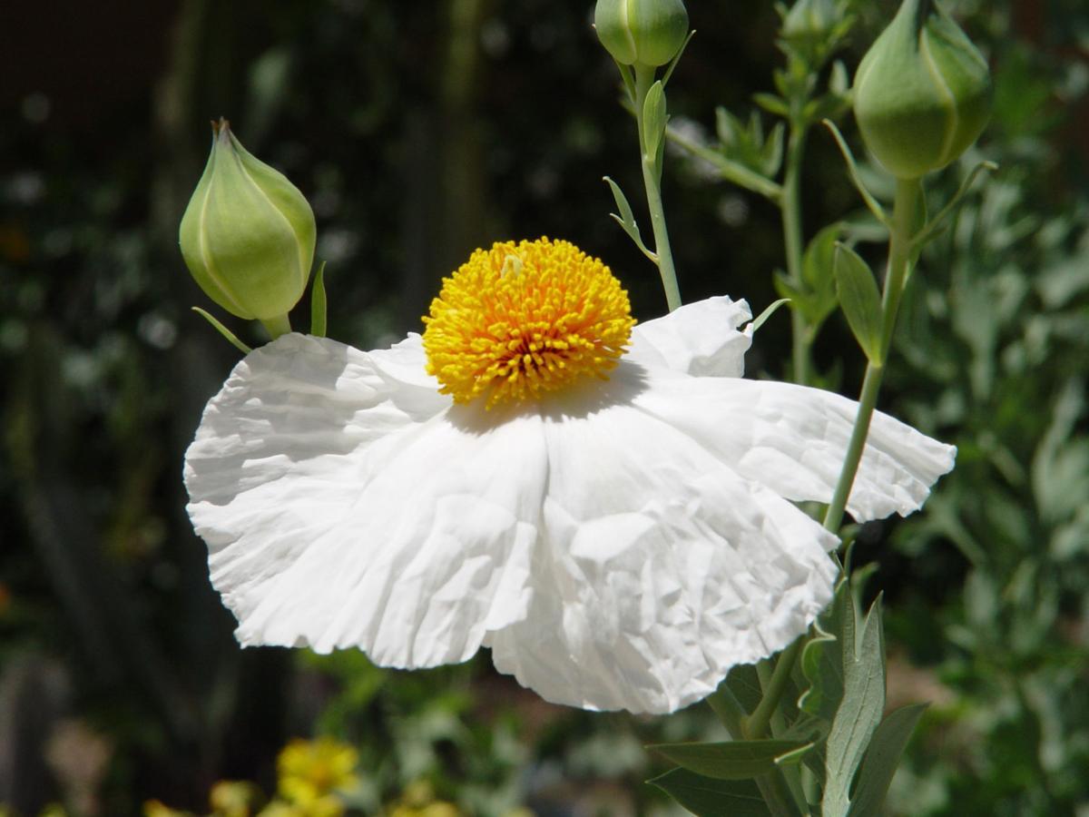Yardsmart Matilija Poppy Queen Of California Flowers Lifestyles