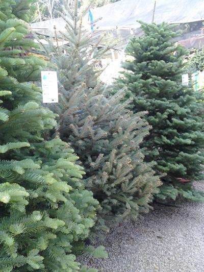 How Long Does It Take A Christmas Tree To Grow.Living Christmas Trees Grow Up Columnists Lompocrecord Com