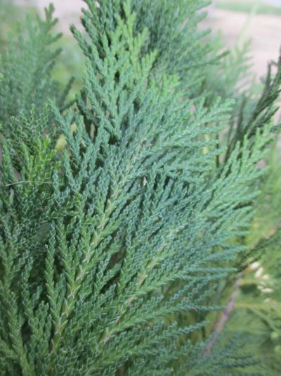 Bird nest cypress