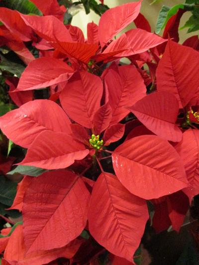 Poinsettias can be grown as houseplants