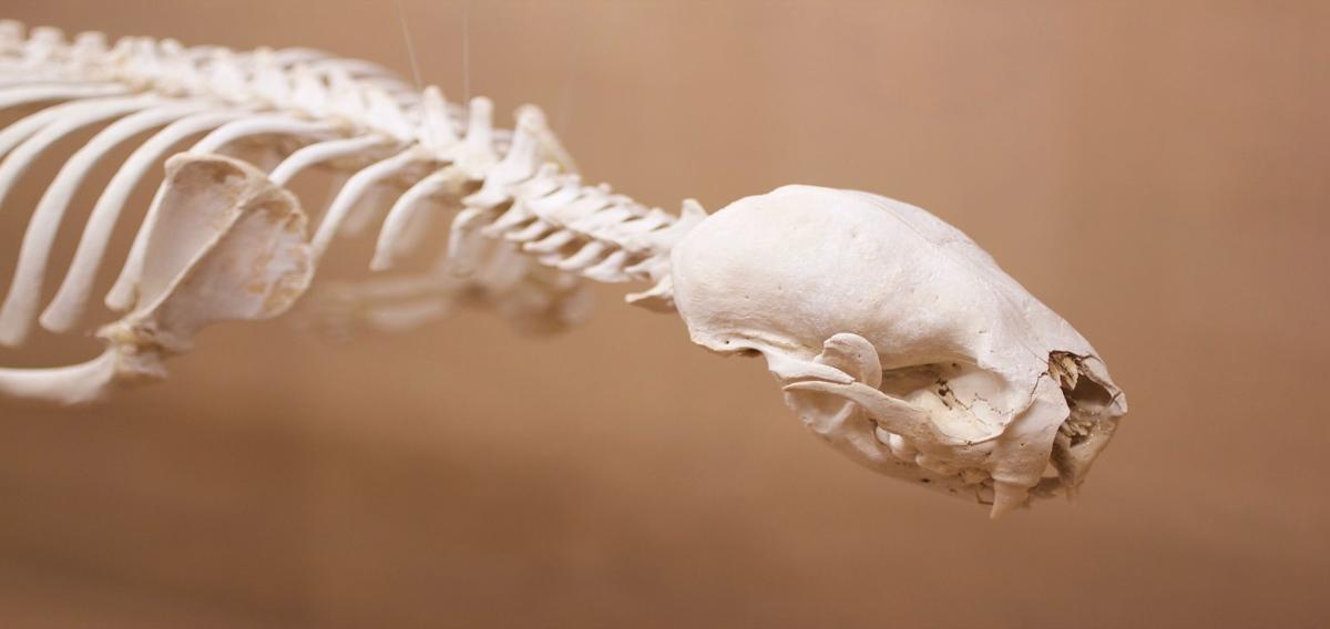 The Dunes Center offers education on the intricacies of a sea otter skeleton
