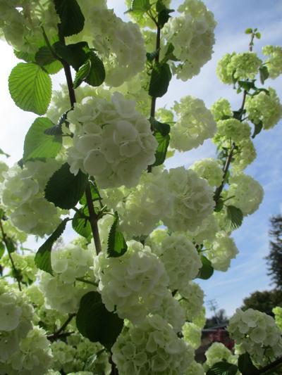 Tony Tomeo Highlight: Snowball bush