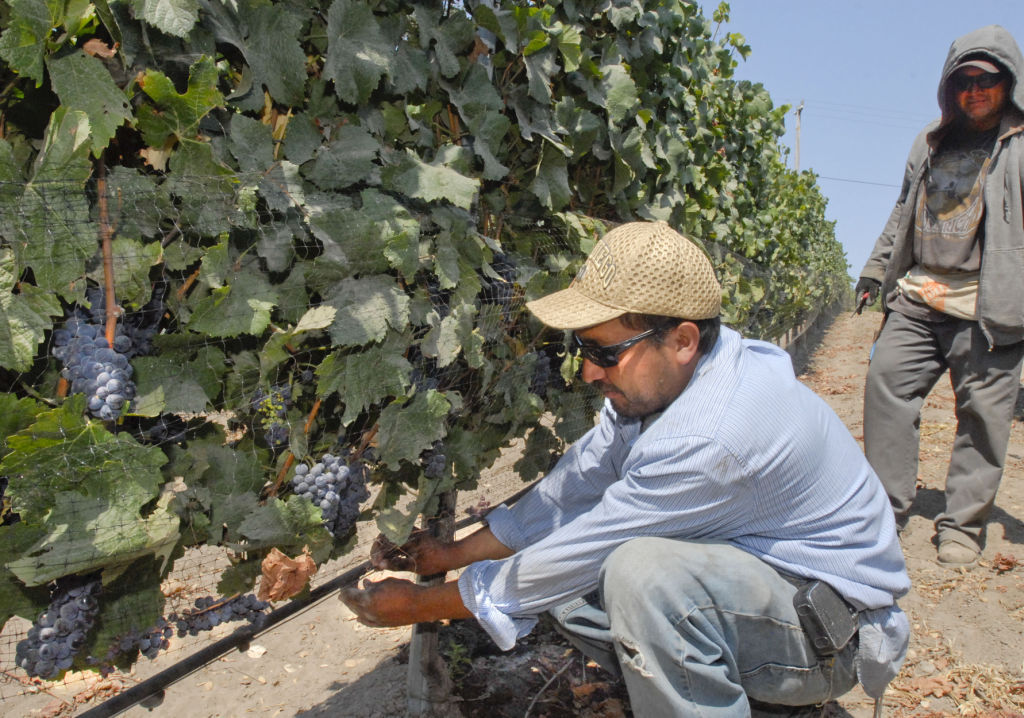 080614 SM grape harvest 01.JPG