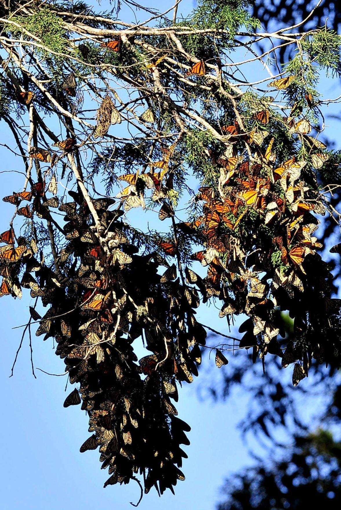 Clustering monarchs 2016