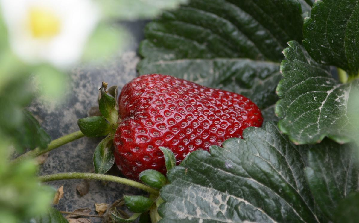 041819 Strawberries 02.jpg