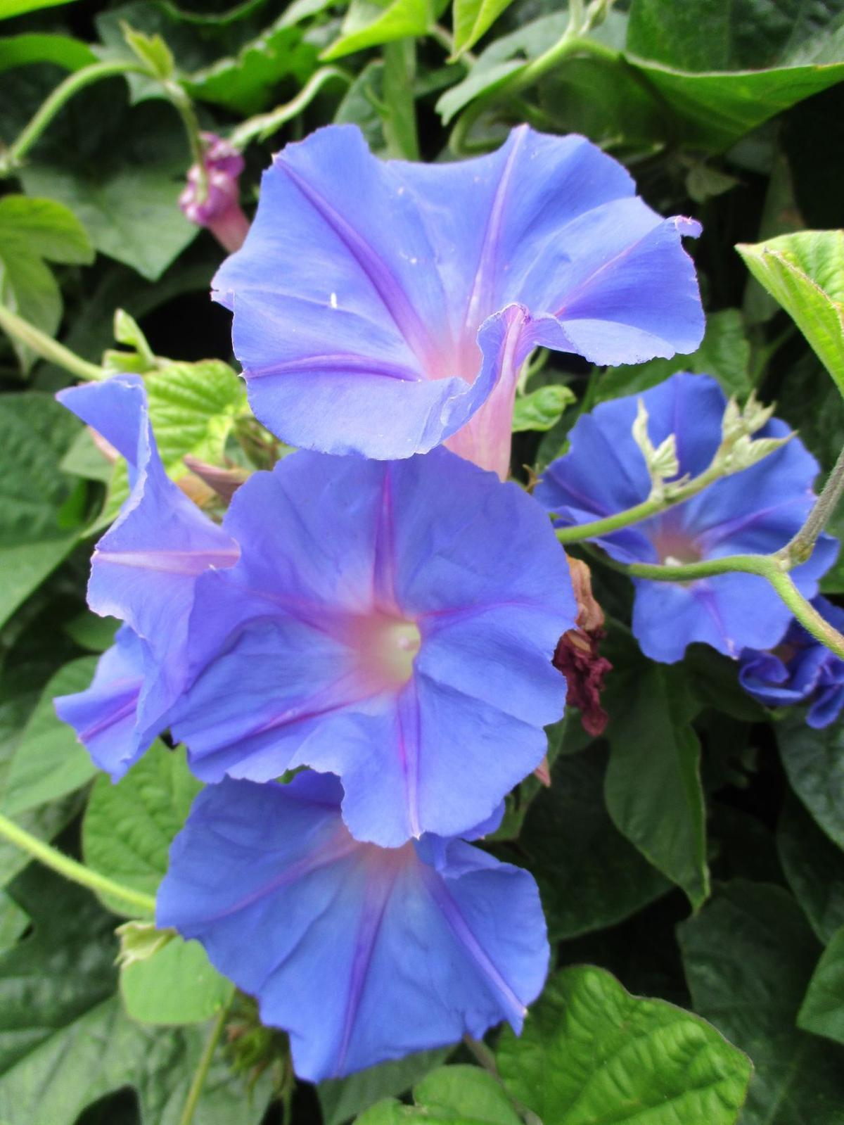 Highlight blue dawn flower home and garden lompocrecord highlight blue dawn flower izmirmasajfo Choice Image