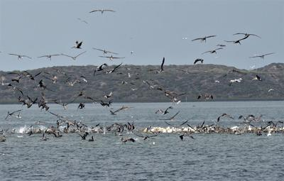 Brown and white pelicans feeding