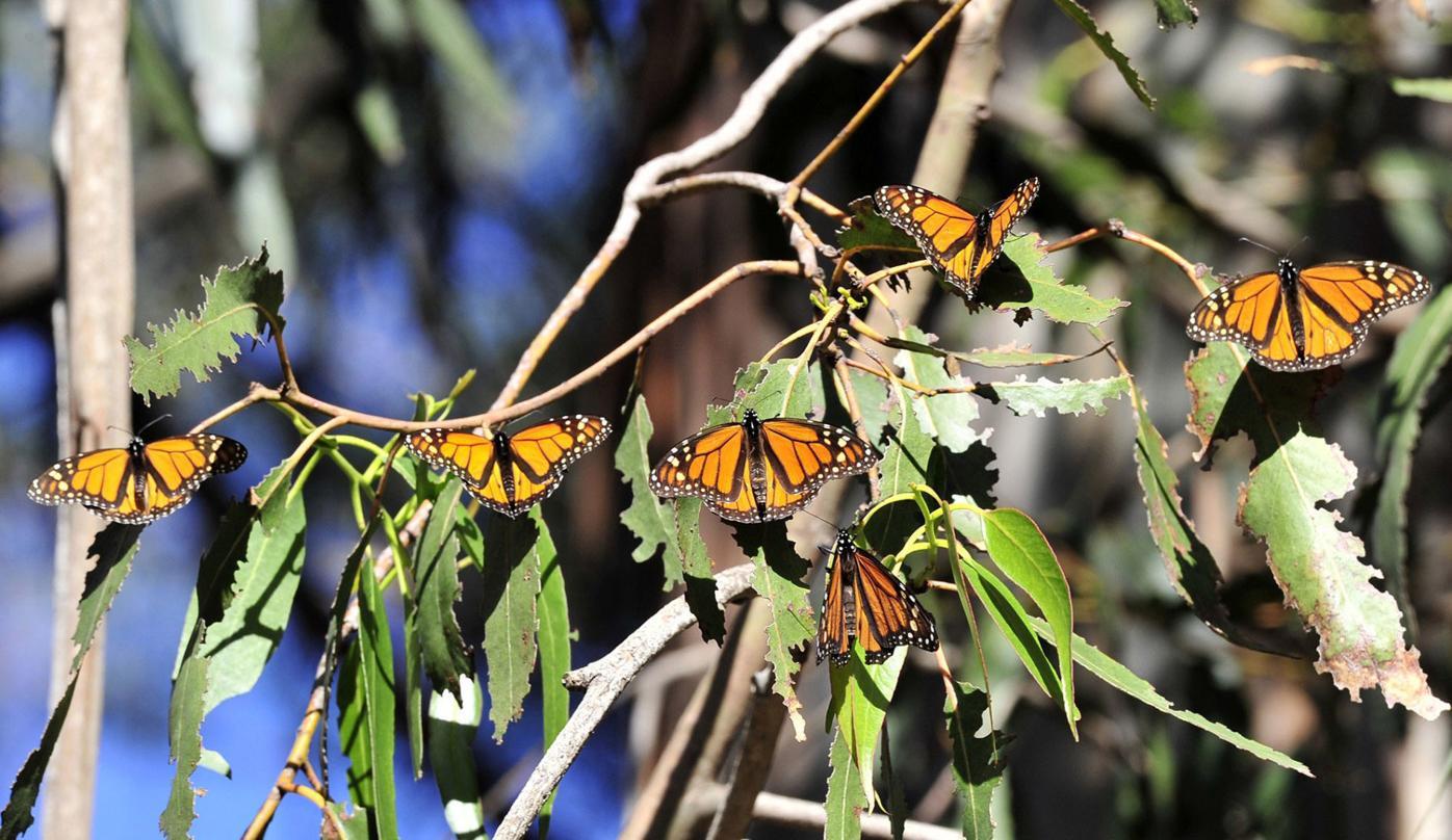 Pismo Beach's famed monarch grove opens Saturday for the season
