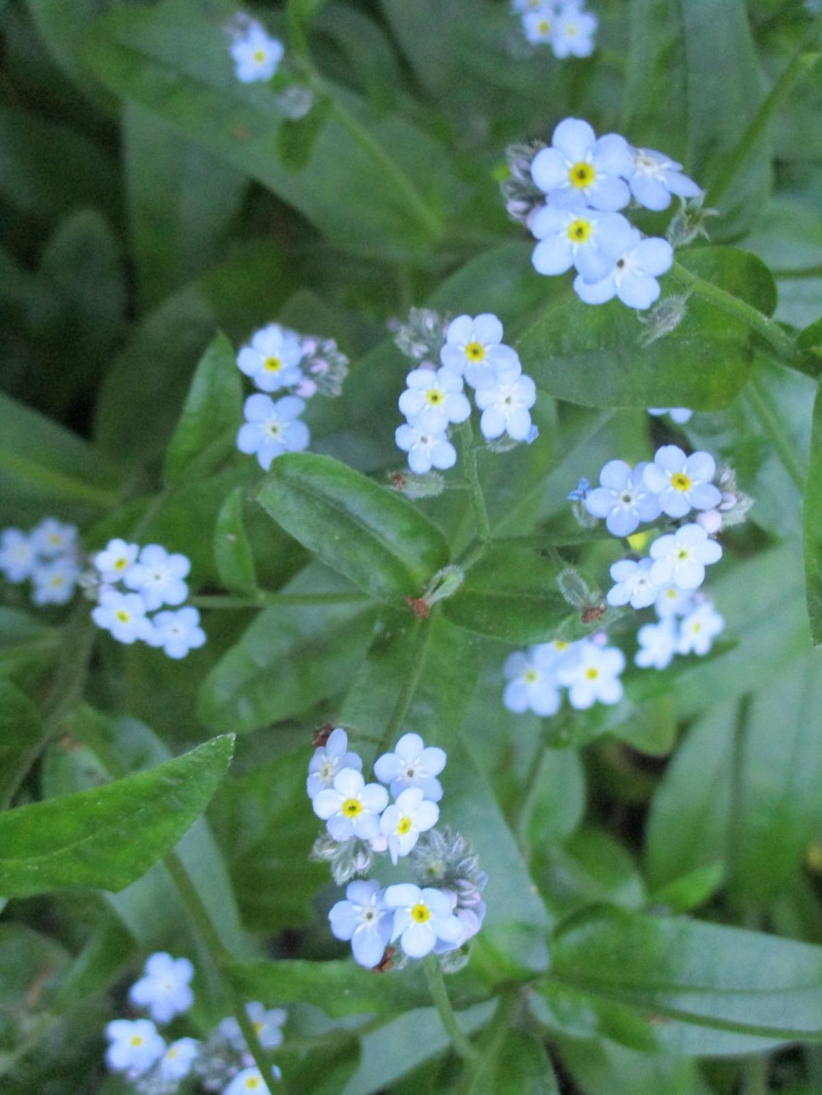 Forget-me-not can reseed year after year.