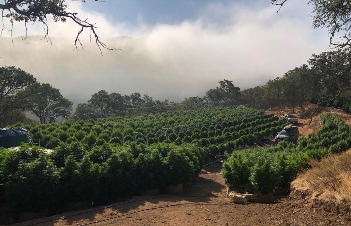 Tepusquet illegal grow