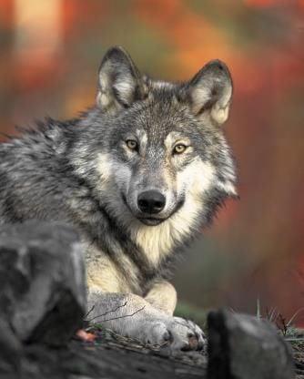 110618 Gray Wolves