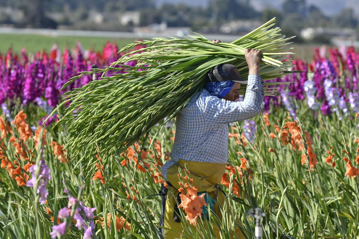 Cut flower harvest