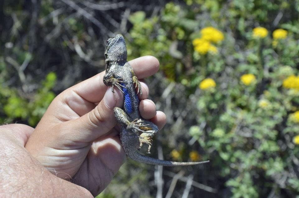 blue belly lizard one