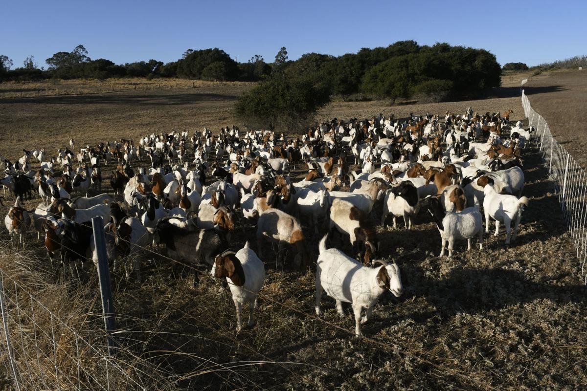 091819 Lompoc goats 01.jpg