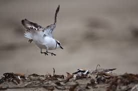 Lompoc's Surf Beach fully reopened due to fledging of plover chicks