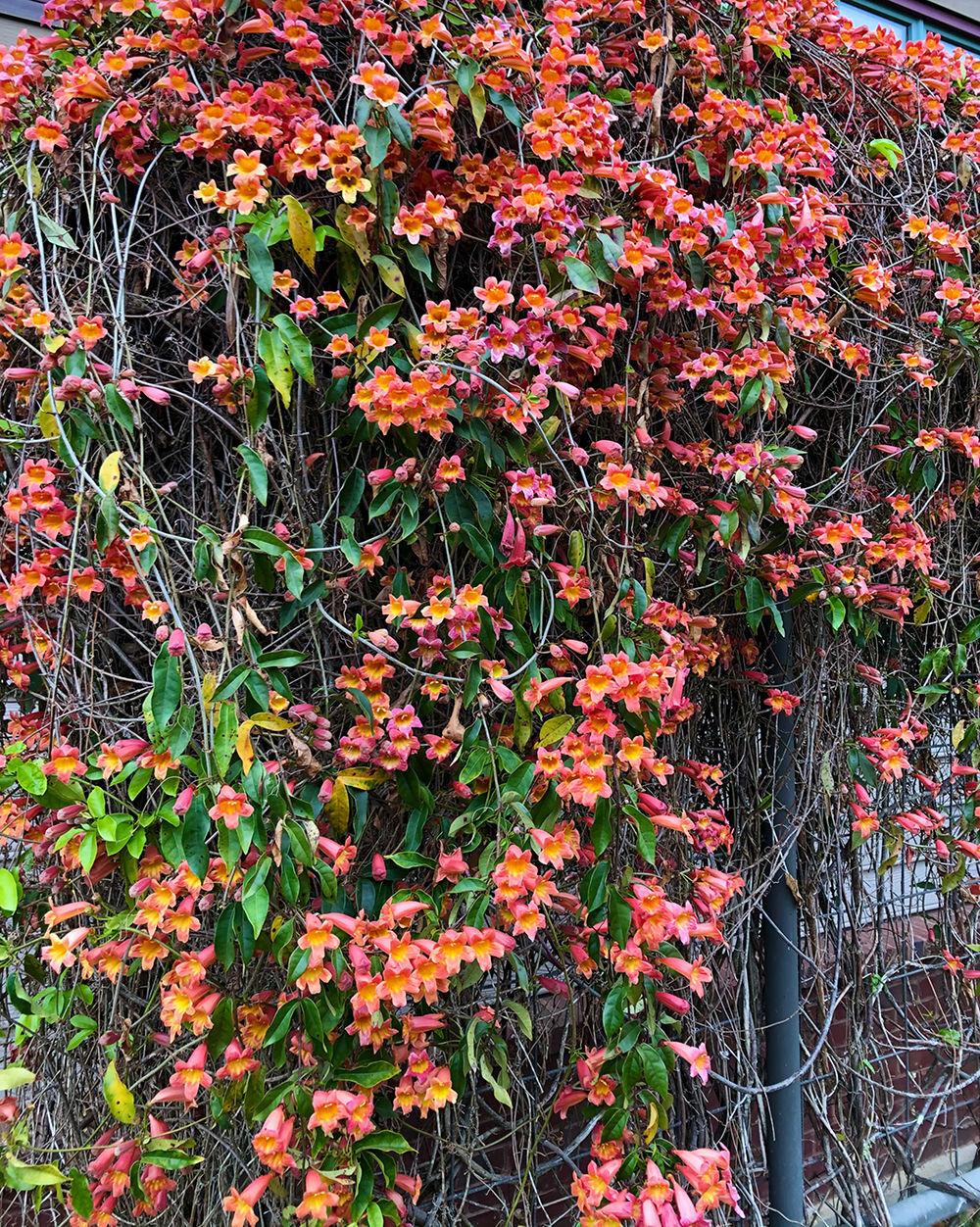8 Crossvine, Tangerine Beauty at History Center by Jonathan Gerland.jpg