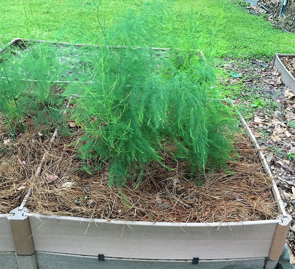 Asparagus with pine straw mulch