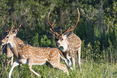 Live axis deer