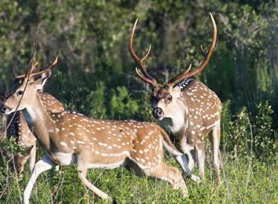 Bargain hunting: TPWD's drawn hunt program offers high quality hunts at affordable prices