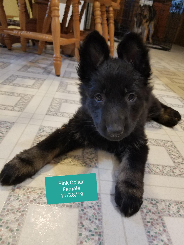 AKC German Shepherd puppies image 2