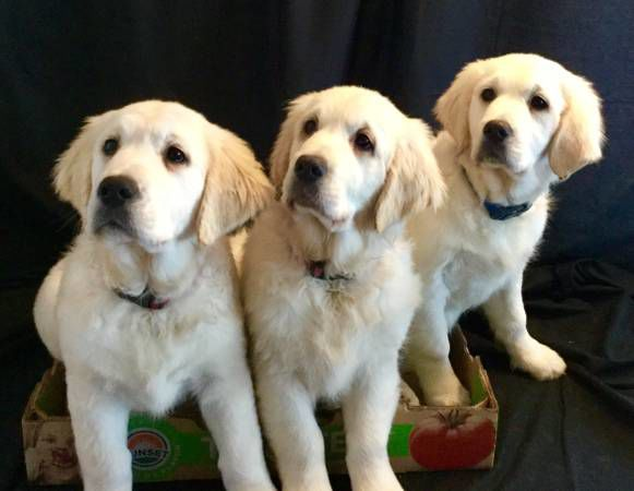 GORGEOUS ENGLISH CREAM GOLDEN RETRIEVER PUPPIES - READY TO GO NOW! image 1