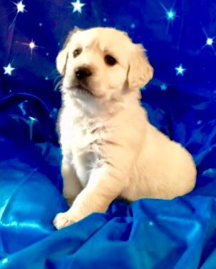 GORGEOUS ENGLISH CREAM GOLDEN RETRIEVER PUPPIES - READY TO GO NOW! image 2