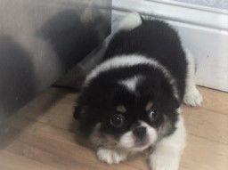 Japanese Chin Puppies image 1