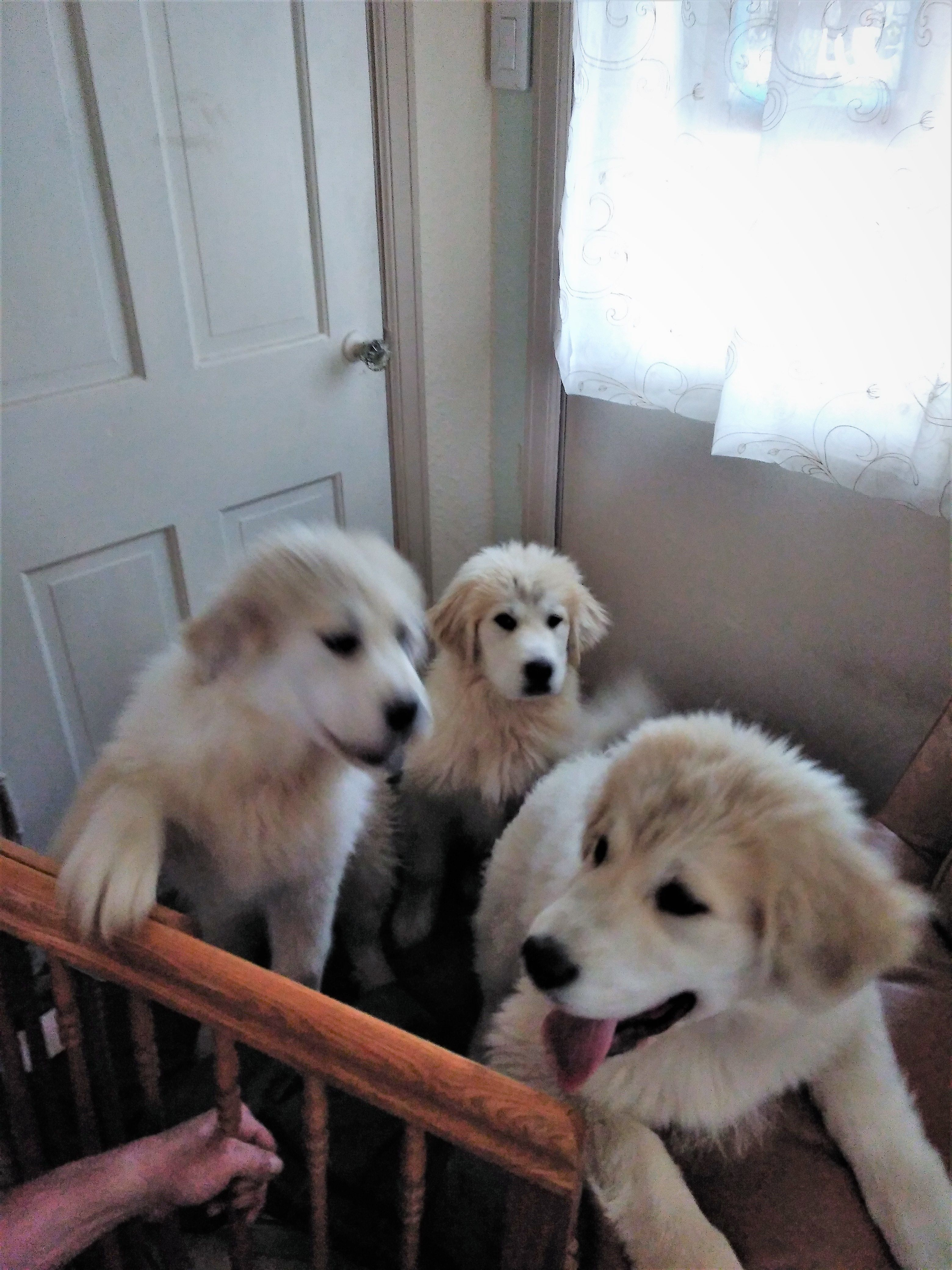 GREAT PYRENEES PUPPIES image 1