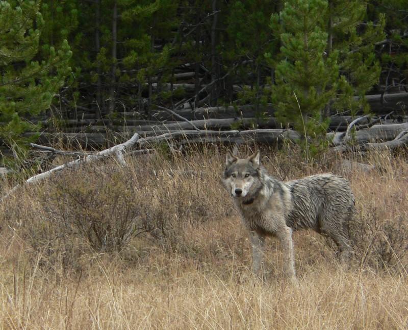 gray wolf file photo