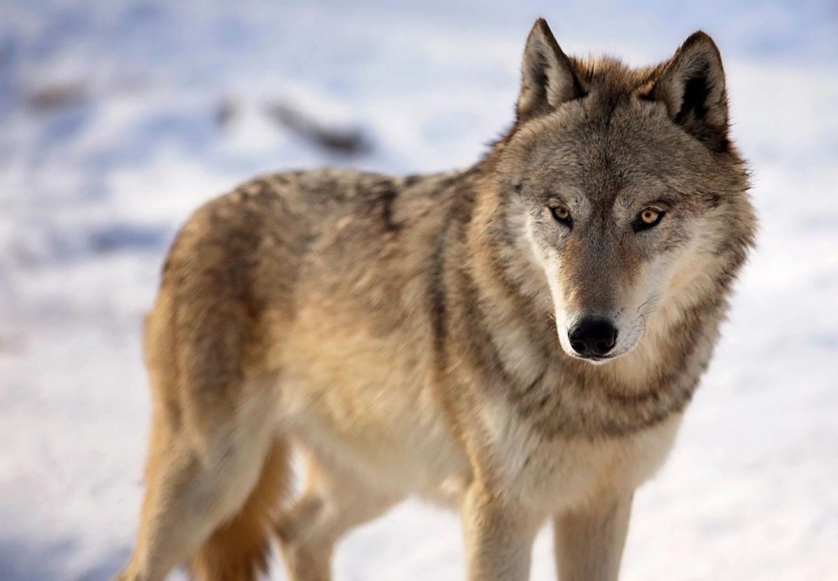Gray wolf (copy)