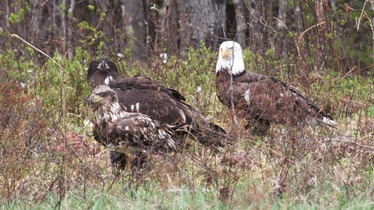 Bald eagles in Wisconsin (copy)