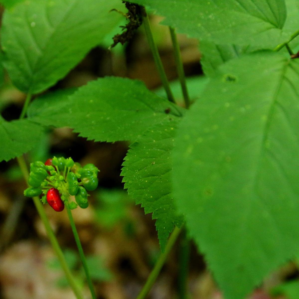 Jerry Davis: Wisconsin's ginseng in precarious position