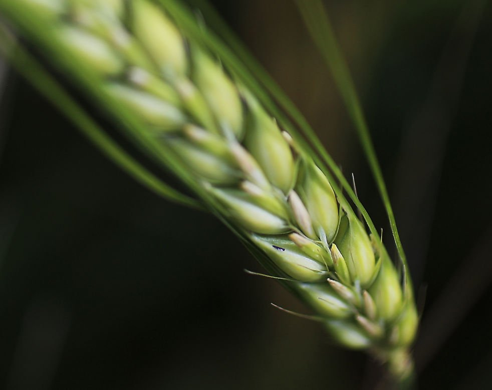 barley crop information A larger than expected canadian barley crop in 2018/19, coupled with a lower crop forecast for australia, could see canada's barley exports to china reach new heights in 2018/19 canada's barley export pattern has changed in favour of china.