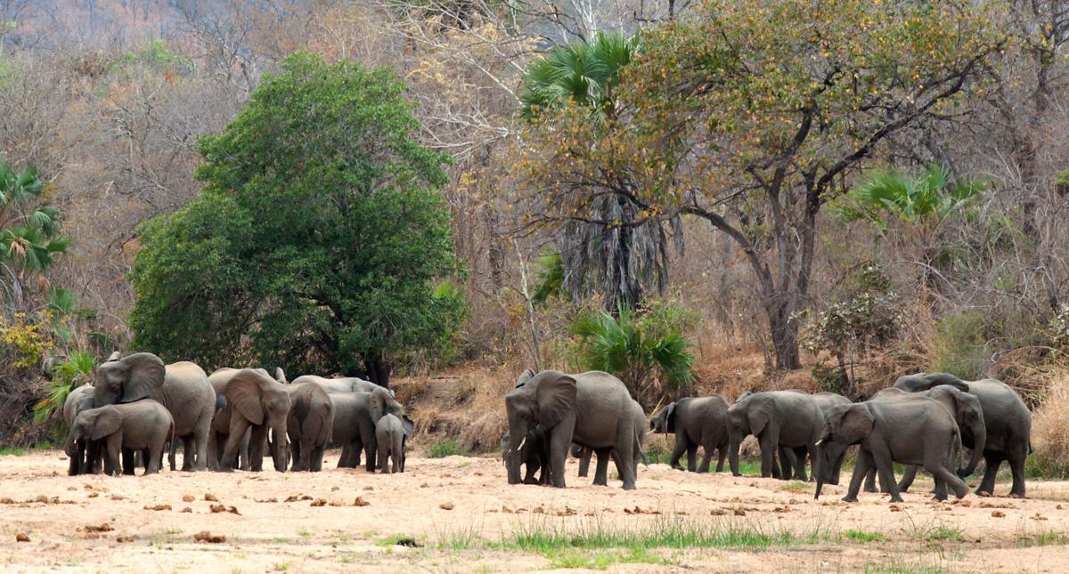 Mozambique elephants