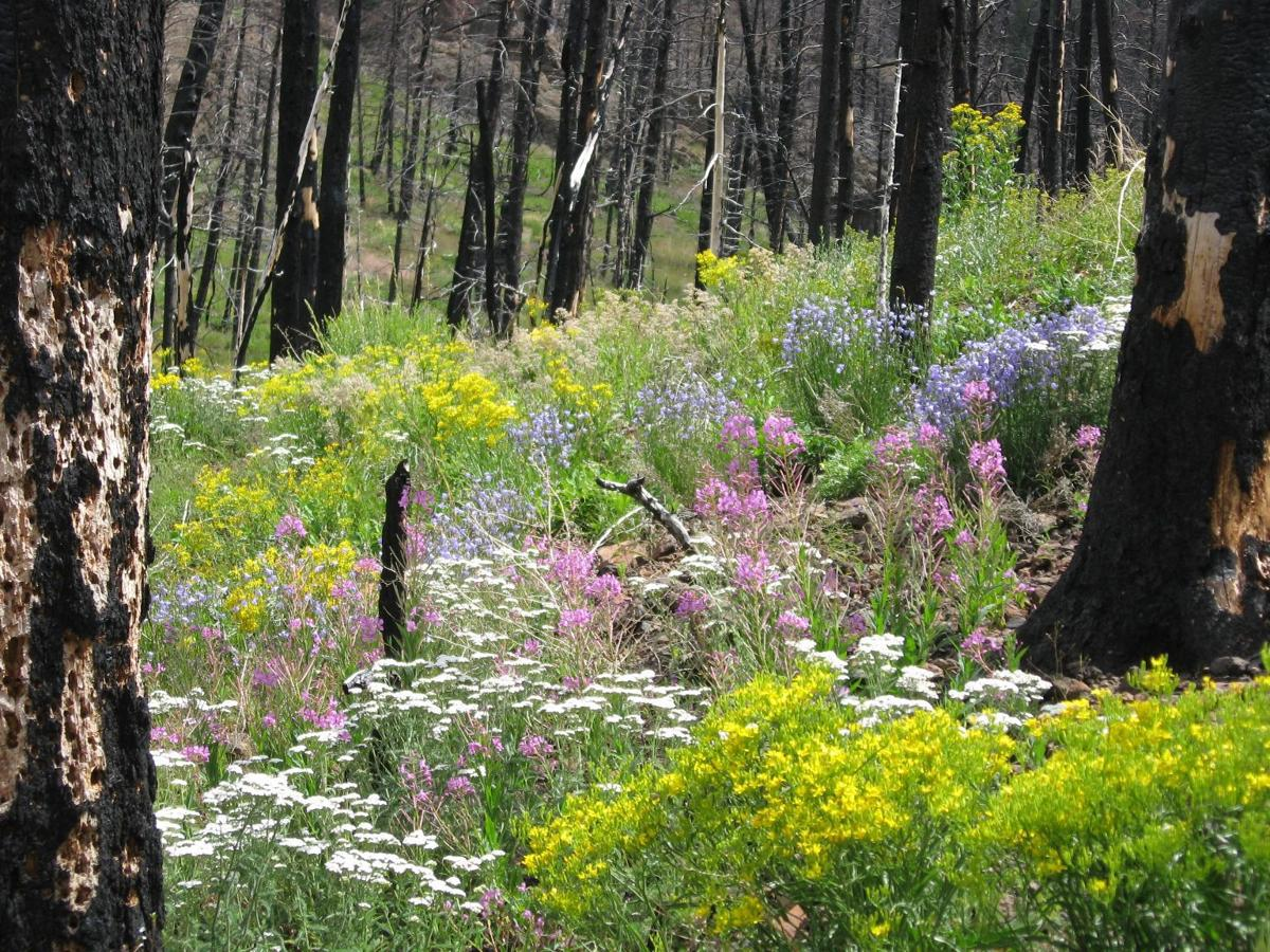 Understory plants recover rapidly after a wildfire in Greater Yellowstone