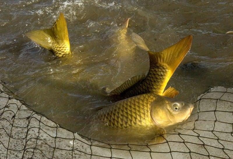 lake wingra carp removal file photo